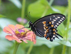 14. Black Swallowtai and Zinnia ©Kim Smith 2013