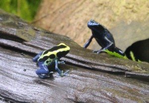 Poisoned Dart Frogs 02