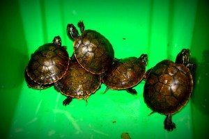 Northern Red Bellied Cooters