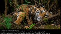 COMING SOON Lions, Tigers and Bears: Through the Lens with National Geographic